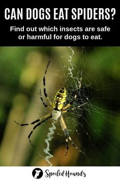 Can dogs eat spiders? Find the answer and a list of bugs, insects, and worms dogs can and can't eat on Spoiled Hounds. #pets #dogs #doglovers #doghealth #doginformation #dogownertips #pethealth #insects Can Dogs Eat, I Love Dogs, Diabetic Dog Food, Make Dog Food, Dog School, Dog Nutrition, Dog Information, Buy A Dog, Dog Diet