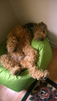 Airedale sleeping position.
