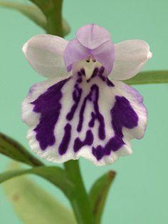 Orchid: Ponerorchis graminifolia [In Japanese: Utyyouran] - Scottish Rock Garden Club - >Wisley Alpine Log