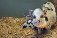 How to Care for Mini Pigs | eHow