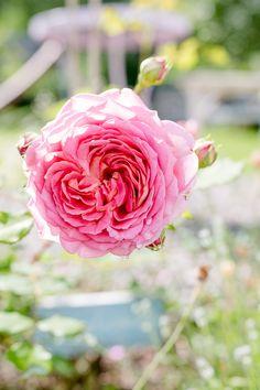 David Austin, Rosen Beet, Mai, Garden, Plants, Cottage, Summer, Flowers, English Roses