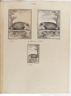 Blaireau, Figures pour l'histoire des quadrupèdes, par M. de Buffon.. Tome II / Déssins [sic] originaux par DeSeve et Buvée, avec les Gravures des Editions in12 et in4° vol. 5 à 7.   1755-1758