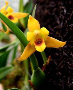 MAXILLARIA VARIABILIS Maxillaria variabilis, es una orquídea de flores pequeñas…