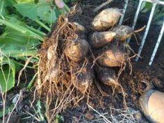 tubercules de yacon Stuffed Mushrooms, Herbs, Vegetables, Food, Kiwi, Witch, Orange, Google Search, Gardens
