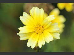 Crown Daisy Glebionis coronarium