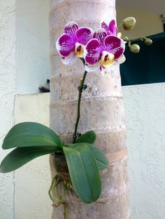 How to attach Phalaenopsis orchids and Vanda Orchids to Palm Trees