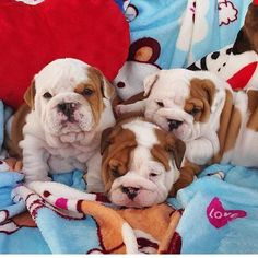 """"""" @wrinklybulldogs #fire #follow #exotic #exclusive #oreo #over #love #power #popular #kennel #nba #nike #dogs #dope #thebullyplanet"""""""