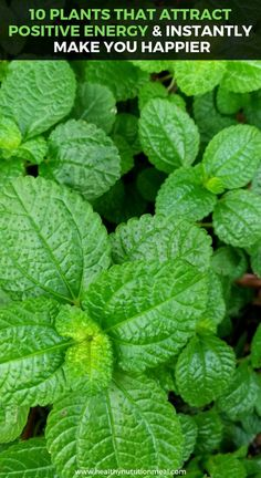 10 Plants That Attract Positive Energy and Instantly Make you Happier In this article we're going to show you a list of 10 plants, which [. Natural Home Remedies, Natural Healing, Herbal Remedies, Health Remedies, Cold Remedies, Holistic Healing, Health Benefits, Health Tips, Gut Health