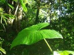 Rainforest Plants of Costa Rica Rainforest Plants, Shrubs, Plant Leaves, Tropical, Costa Rica, Bing Images, Quilt, Draw, Design