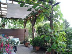 Die Weinrebe an der Überdachung der Gartenlaube
