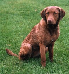 Chesapeake Bay Retriever - Molly ~ Pup