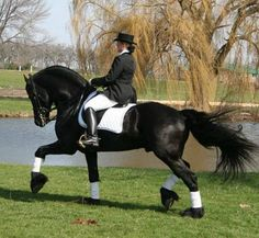Friesian Dressage | Home of Friesian stallion Zorro Breeder of Elite Friesian & Warmblood ...