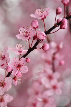 Is this the ultimate spring hack? From House Beautiful Sakura Cherry Blossom, Cherry Blossoms, Beautiful Flowers, Beautiful Pictures, Wind In My Hair, Japanese Sweet, Blossom Trees, Spring Blossom, Four Seasons