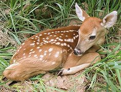 how to know if an 'abandoned' fawn needs help