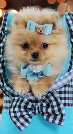 Teacup Pomeranian - He looks just like Boo!