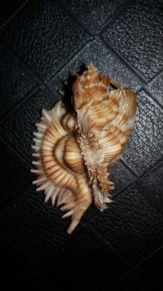 Murex ( Chicireus ) Miyokoae