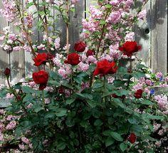 1000 images about rose garden on pinterest roses rose. Black Bedroom Furniture Sets. Home Design Ideas