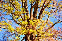 New print available on licensing.pixels.com! - 'Beautiful Autumn Trees  2' by Lanjee Chee - http://licensing.pixels.com/featured/beautiful-autumn-trees-2-lanjee-chee.html via @fineartamerica