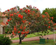 Corymbia ficifolia is a spectacular tree with a spreading crown and terminal clusters of bright red to orange flowers during summer. The flowers do not have any petals, it is the many coloured stamen that give the flowers their fluffy appearance. All Flowers, Orange Flowers, Red Tree, New Growth, Trees And Shrubs, Geraniums, Palm Trees, Google Images, Vines