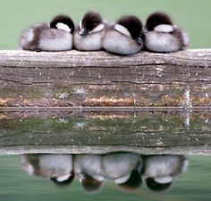 Reflection in water, duck, Animal photography, ducklings nestled on a beam Pretty Birds, Love Birds, Beautiful Birds, Animals Beautiful, Cute Creatures, Beautiful Creatures, Cute Ducklings, Wow Photo, Tier Fotos
