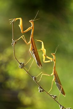 """""""cause this is Thriller, thriller night…"""" No it's funny because female praying mantis kill and eat their mate. hehe"""