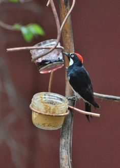 Some species, including orioles and woodpeckers, are attracted to small dishes of jelly and peanut butter. Fresh orange slices are another great way to attract unique birds to the feeders. This acorn woodpecker, like most Americans, loves this combination!