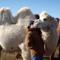 Bactrian Camels - Dr. King's Farms