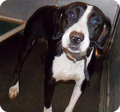 St. Pauls, NC - Labrador Retriever Mix. Meet Devon, a dog for adoption. http://www.adoptapet.com/pet/11506739-st-pauls-north-carolina-labrador-retriever-mix
