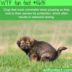 Dogs feel most vulnerable when pooping - WTF fun fact