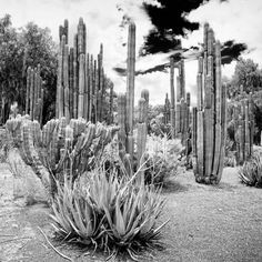 ¡Viva Mexico! Square Collection - Cardon Cactus B&W IV Photographic Print by Philippe Hugonnard at Art.com