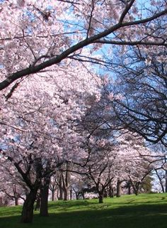 The delicate pink cherry blossoms in High Park, Toronto.