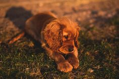 animals dogs puppies domesticated cute adorable ears paws brown outdoors
