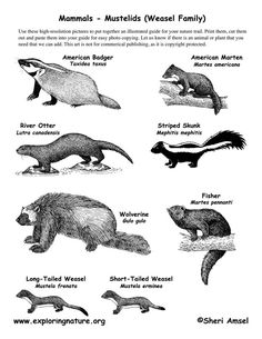 mustelid family - Google Search