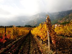 Vineyards in Crimea.