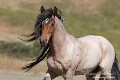 This stallion named Freedom lives at the Return to Freedom Sanctuary in Lompoc, California with his family. #horse #wildhorse