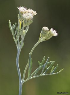 Flora Bonaerense: Flor de reina (Senecio vira-vira)
