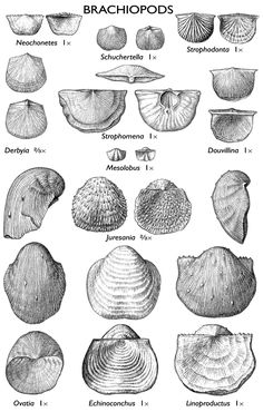 images of brachiopod fossils