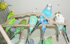 best images about Budgies Parakeets on Pinterest Vintage