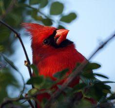 Red Cardinal Wallpaper | ... cardinals,cardinal bird,flying cardinal,sweet cardinals,red cardinal