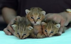 Três gatinhos Lynx da selva são fotografados no abrigo de animais nos arredores de Ahmedabad.