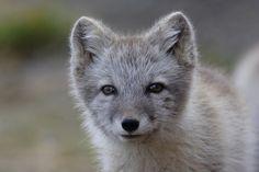 Arctic fox in Greenland - Szukaj w Google