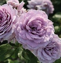Pleasantly fragrant blossoms are packed with lovely lavender petals, and appear in clusters on highly disease-resistant plants. Love Rose, Love Flowers, Beautiful Flowers, Amazing Gardens, Beautiful Gardens, Floribunda Roses, White Flower Farm, Heirloom Roses, Lavender Roses
