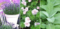 Så trivs perenner i kruka - de 20 bästa sorterna | Wexthuset Plants, Balcony, Gardening, Lavender, Lawn And Garden, Flora, Plant, Outdoor Balcony, Horticulture
