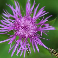 Centaurea scabiosa - (Greater Knapweed) a perfect plant for pollinators and sure to make your garden a buzz! #flowers #flower #plant #gardening #gardens #pollinate #bees #buzz #bees
