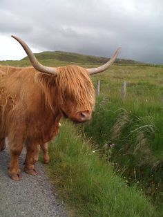Scotland Highland Cattle