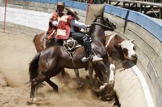 Chilean horse purebred- Caballo Chileno de pura raza record since 1893. conquistadores españoles en Chile