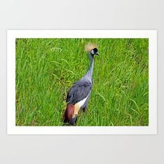 east african crowned crane, bird, nature