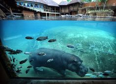 April 27, 2016; Visitors to the Memphis Zoo will be able to watch a trio of the Zoo's hippos bounce around in the water at their new Zambezi River Hippo Camp exhibit, which opens Friday. The new four-acre, $22.3 million exhibit will also feature an okapi, crocodiles, flamingos as well as other animals native to the African continent. (Jim Weber/The Commercial Appeal)