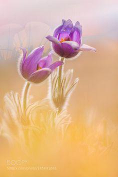 Pulsatilla by Photo_Phil #nature #photooftheday #amazing #picoftheday