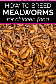 Do you want to learn how to breed mealworms? Learn about breeding mealworms for chicken food. It's a very inexpensive DIY project that chickens love. Raising Mealworms, Raising Quail, Raising Chickens, Pet Chickens, Meal Worms For Chickens, Meal Worms Raising, Backyard Chickens, Chicken Garden, Chicken Feed